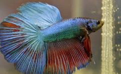 Mengenal Pesona Ikan Cupang dari Komunitas Cupang Sahabat Tangsel