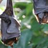 Chinese Horshoes Bats, Kelelawar yang Diduga Penyebab Menyebarnya Virus Corona