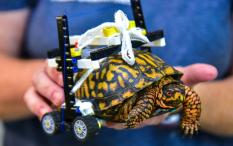 Sudah Sembuh, Kura-Kura dengan Kursi Roda Lego ini Dikembalikan ke Habitatnya