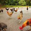 Pulau Ini Jadi Surga Bagi Ribuan Ayam Liar
