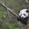 Warga Korsel Sambut Kelahiran Pertama Bayi Panda