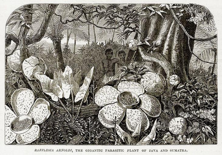Unduh 980 Gambar Bunga Raflesia Sketsa Gratis Terbaru