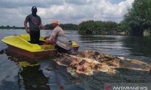 Terjangkit Hog Cholera, 27 Ribu Lebih Babi Mati di Sumut
