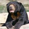 Taman Safari Indonesia Kedatangan Seekor Beruang Madu