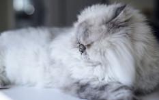 Menjaga Bulu Kucing Terawat Mudah