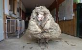 Domba Gondrong Viral di Media Sosial
