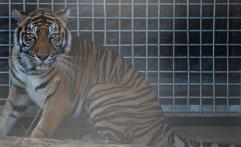 Pusat Rehabilitasi Harimau Sumatera Diresmikan