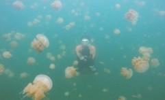 Empat Danau di Indonesia Tempat Tinggal Ubur-ubur Tak Bersengat