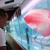 Ikan Hias Wajib Pasang Chip, Pemerintah Tantang Produsen Lokal