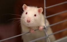 Mengenal Lebih Dalam Karakter Shio Tikus