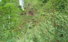 Polisi Bakar 420Ribu Batang Pohon Ganja di Mandailing Natal