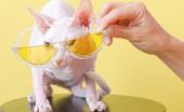 Jika Alergi Pelihara Jenis Kucing ini