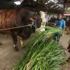 Presiden Jokowi Berkurban Seekor Sapi Seberat 1,3 Ton untuk Warga Kalteng