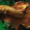 Kisah Anang Buchori Pengusaha Ikan Cupang yang Punya Omset Puluhan Juta