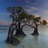 Cantiknya, Pohon Bakau 'Menari' di Pulau Sumba